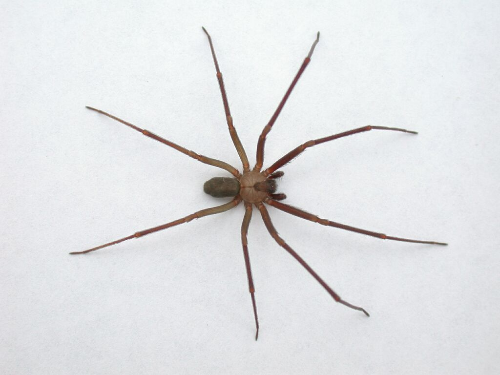 What Does A Brown Recluse Spider Look Like Yahoo Answers